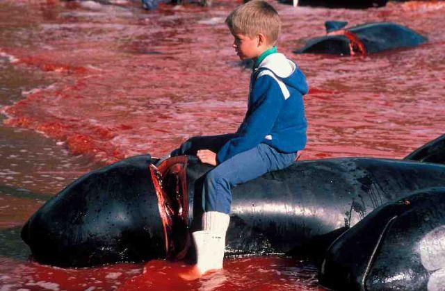 Убийство дельфинов на Фарерских островах