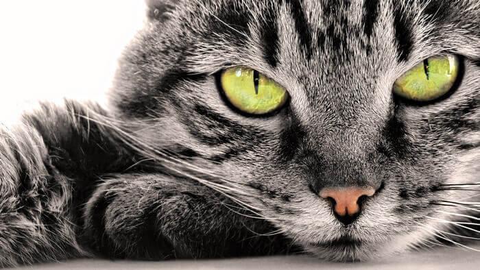 кошка с зелеными глазами