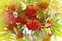 Также смотрели на рябину: если на дереве видели много ягод, ждали дождливую осень (Фото: Leonid Ikan, Shutterstock)
